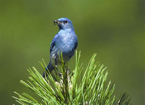 mountain bluebird sialia currucoides natureworks