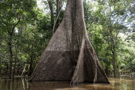 years  collecting   amazon tree