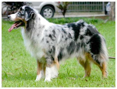 Do Australian Sheep Dogs Shed by Breed Profiles Australian Shepherd Breed