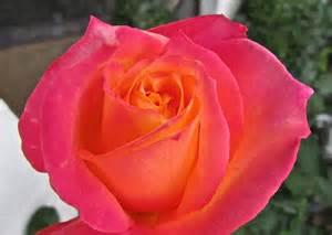 pink rose flickr photo sharing