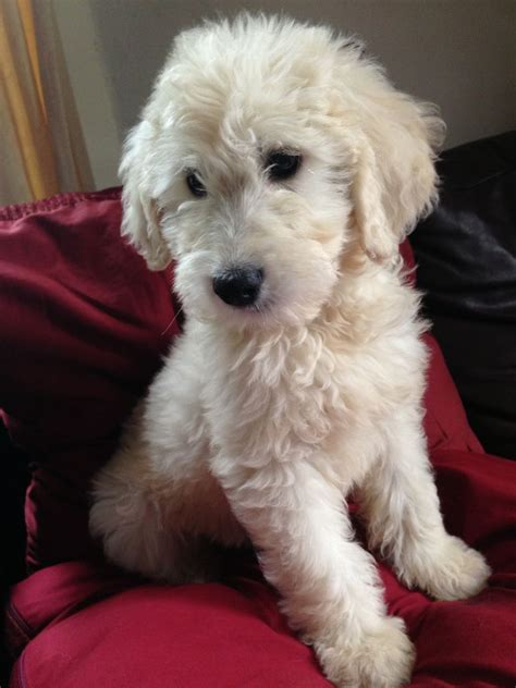 f1 goldendoodle puppies for sale f1 goldendoodle puppies grantham lincolnshire pets4homes