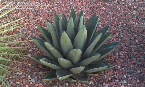 plantfiles pictures agave sharkskin agave century plant maguey sharkskin agave by upshotphx