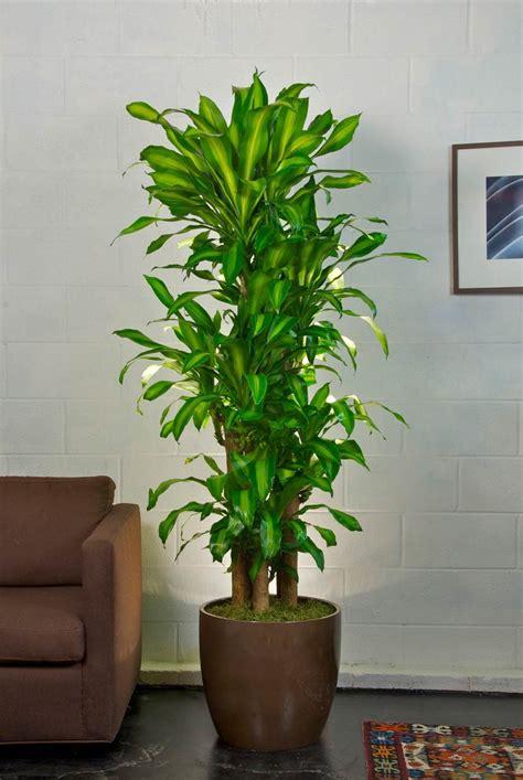 premium corn plant houston interior plants