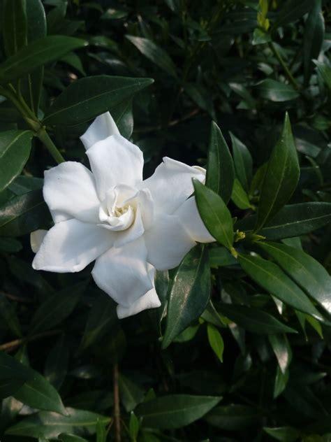 gardenia fiore gardenia jasminoides repens piante vergante