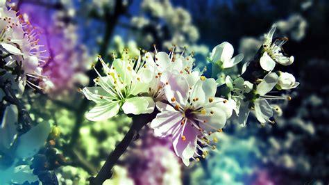 foto hd fiori sfondo quot fiori di ciliegio hd quot 1920 x 1080 hd