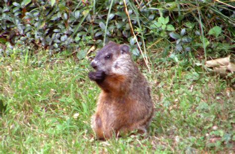 backyard rodents triyae com wild backyard animals various design