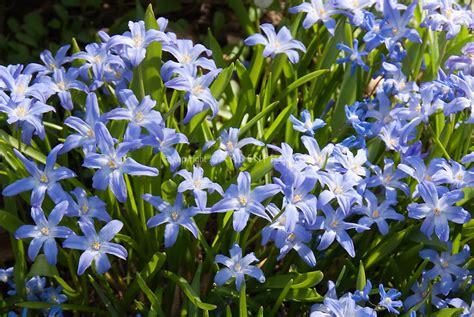 blue flower bulbs chionodoxa lucilae bulb plant flower stock
