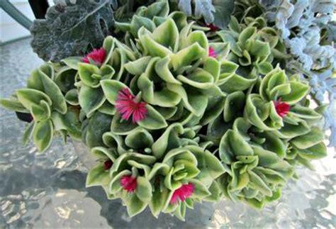 aptenia cordifolia variegata plant identification