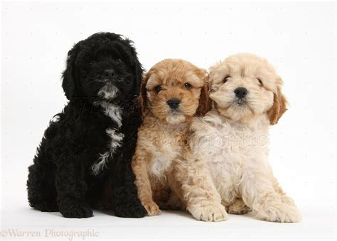 Dogs Wallpaper by Dogs Two Golden And One Black Cockapoo Pups Photo Wp23679