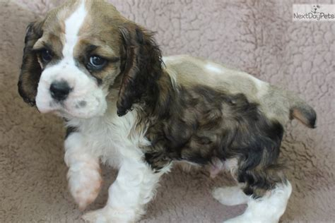 cocker spaniel puppies for sale in missouri cocker spaniel puppy for sale near st joseph missouri d75545f7 aba1