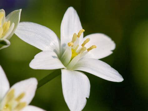 Bibit Bunga Melati Putih kumpulan gambar bunga melati yang indah dan cantik bunga