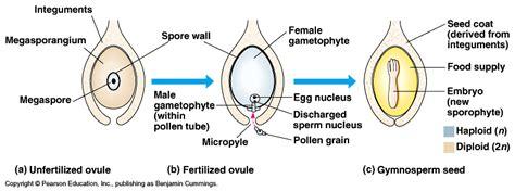 ovule diagram biology 2108