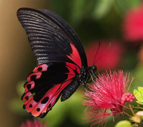 Butterfly Black flowers and butterflies animal black butterfly flowers scarlet swallowtail dragonflys