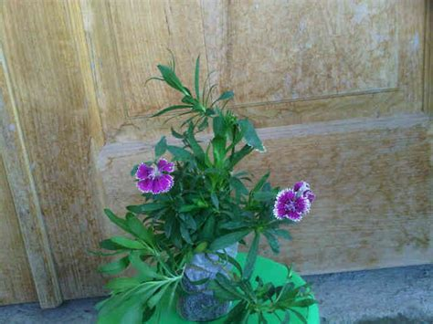 Bibit Biji Bunga Dianthus Baby Doll Import tanaman purple baby doll bicolor bibitbunga