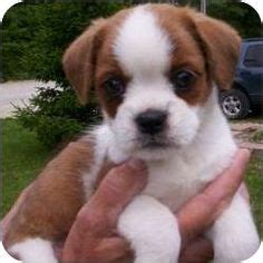 cavalier king charles spaniel pug mix animals on otters pugs and baby animals