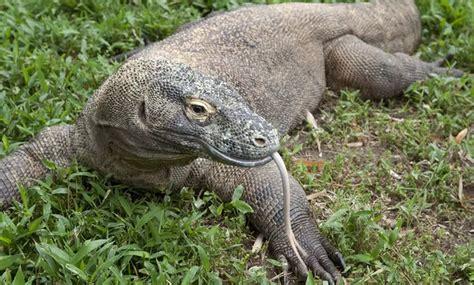 whats      komodo dragon im