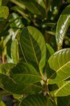 grand pot de fleur 1717 betula pendula youngii