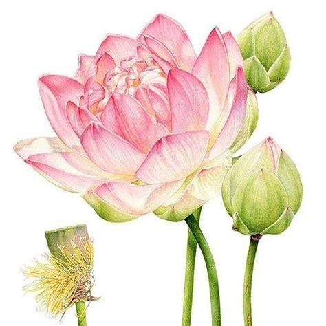 watercolor lotus tutorial instagram post by heidi willis heidiwillisart lotus