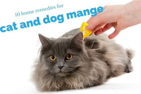 home remedies for puppy mange home remedies for mange cats and dogs guide