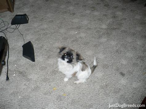 shih tzu pekingese expectancy pekingese breed information vetstreet models picture