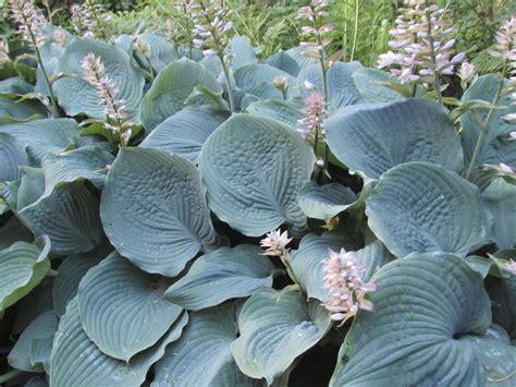 types  blue foliage plants tips   blue foliage