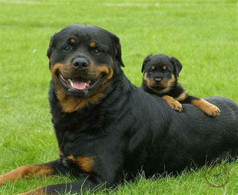 dogs 101 rottweiler dogs 101 025 breeds picture