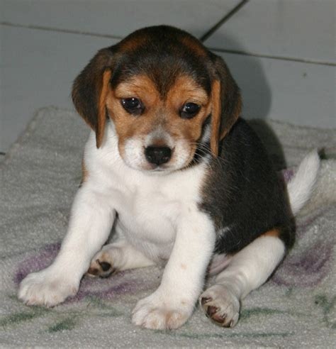 puppy apartment for sale beagle puppies for sale panama guide