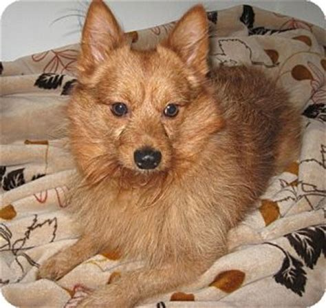 puppies for adoption anchorage wicklow adopted anchorage ak australian terrier pomeranian mix