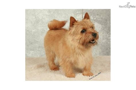 norwich terrier puppies for sale meet a norwich terrier puppy for sale for 1 500 akc may 3