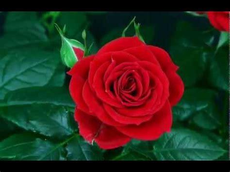imagenes de flores que brillan la belleza de la rosa abriendo su capullo youtube