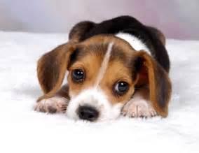 Cute puppy dogs cute beagle puppies