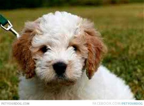 white goldendoodle puppy petyourdog pet your brown white miniature goldendoodle puppy