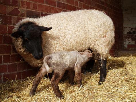 domestic sheep reproduction wikipedia