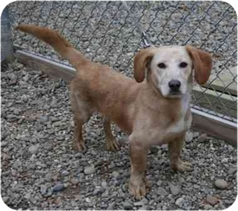 golden retriever dachshund mix for sale golden weiner dogs for adoption breeds picture