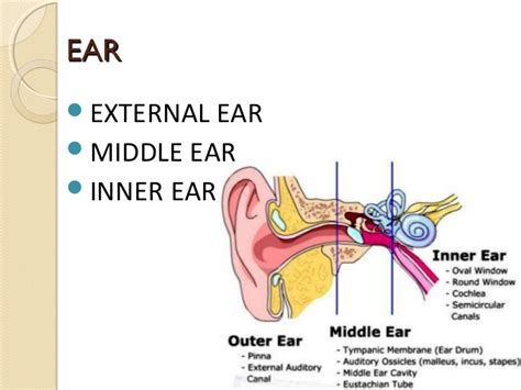 diagram of inner ear diagram of the ear tympanic membrane choice image how to