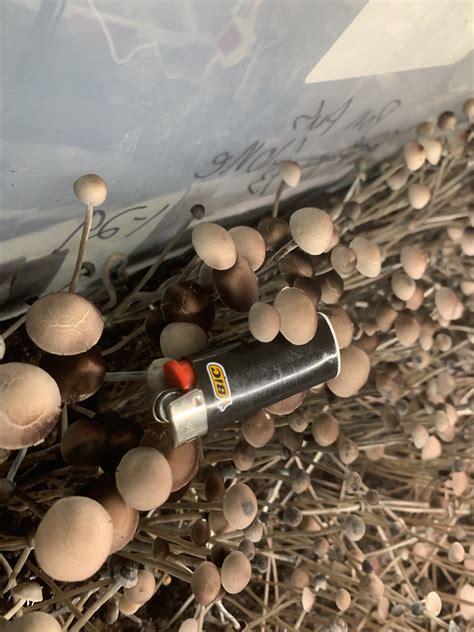 pan cyan australia mushroom cultivation shroomery
