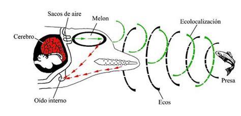 Imagenes Sensoriales Sonoras | ecolocalizaci 243 n