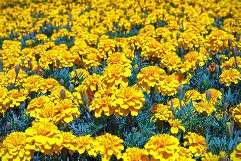 foto fiori gialli fiori gialli tagetes foto stock 169 polifoto 86062264