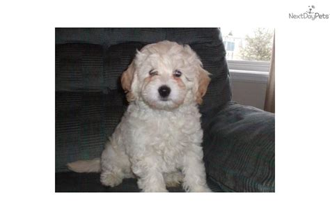 goldendoodle central ohio dogs grown 6 lbs breeds picture