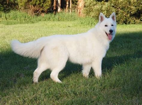 white swiss shepherd puppies top 5 most beautiful white breeds breed and top pics