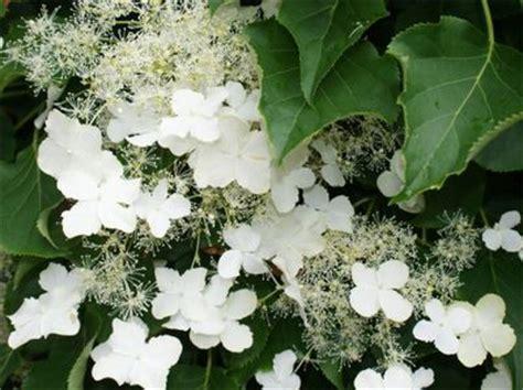 schneeball wann schneiden r 252 ckschnitt hortensie hortensie endless summer schneiden