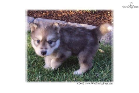 wolf malamute puppies for sale wolf hybrid puppy for sale near salt lake city utah edd273a7 8db1