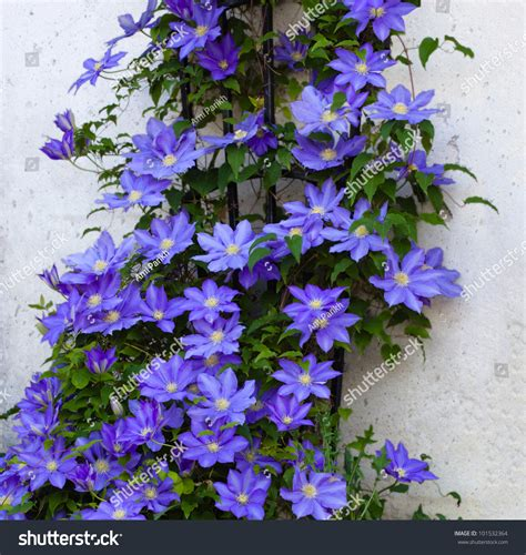 beautiful clematis flower vine on a trellis stock photo 101532364 shutterstock