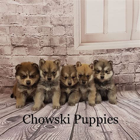 chowski puppies for sale genuine teddy chowski puppies llanybydder carmarthenshire pets4homes