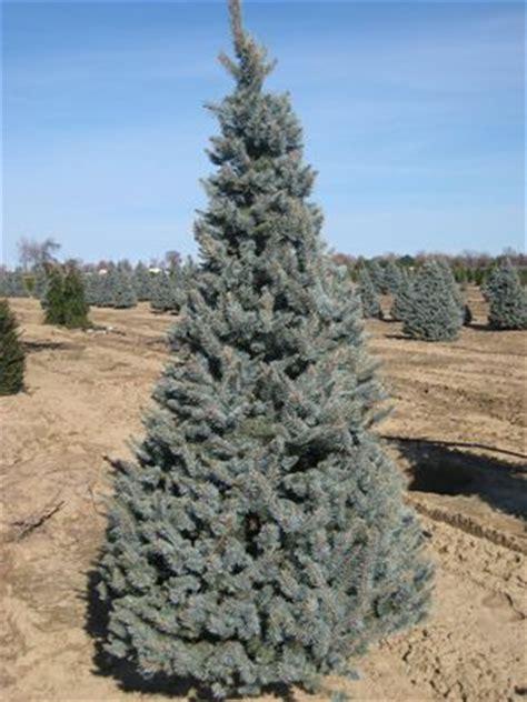 picea pungens iseli foxtail iseli foxtail blue spruce