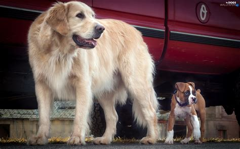 boxer golden retriever golden retriever boxer two cars dogs dogs wallpapers 1920x1200