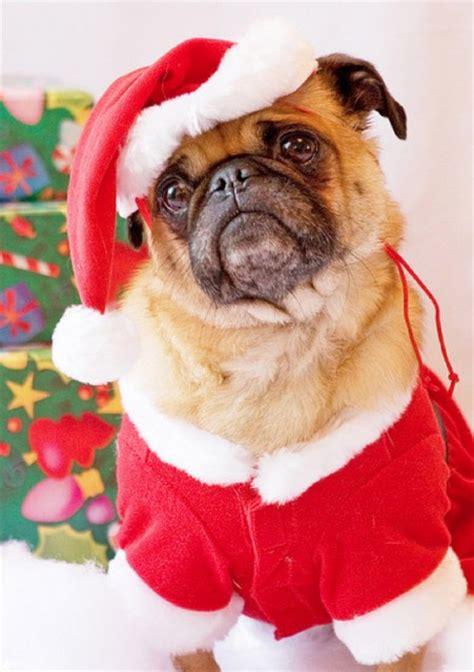 pug starbucks costume 40 suggestions de costumes d pour votre chien petit petit gamin petit