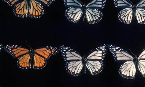 monarch color monarch colors california academy of sciences