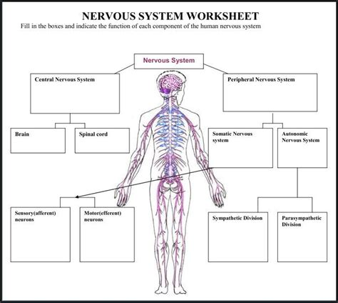 anatomy and physiology coloring workbook answers peripheral nervous system a variety of materials for 3rd 12th grades club