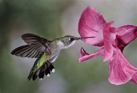 lowcountry hummingbirds high speed photography ultra